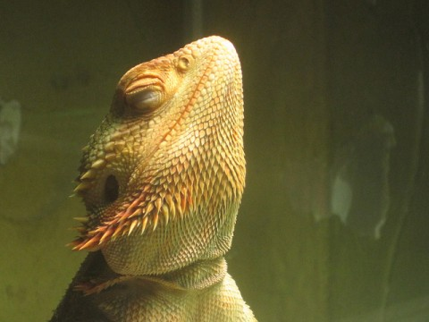 Bearded Dragon Migraines