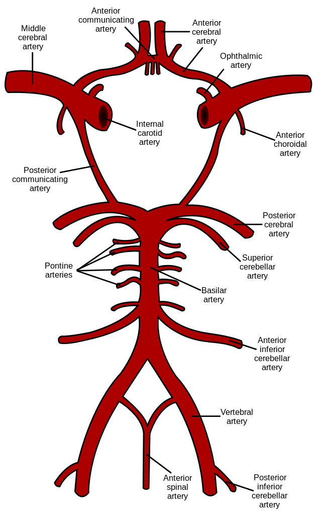 Basilar artery where basilar migraine originates